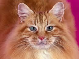 Размышления на тему  рыжего котика,оказавшимся кошкой,потрясшим интернет...