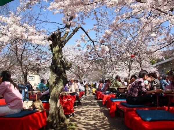 Цветущие вишни в Киото, Япония