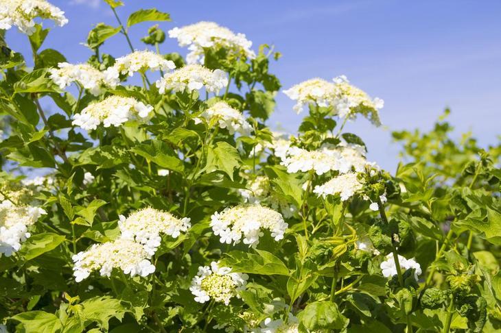 Калина обыкновенная летом во время цветения