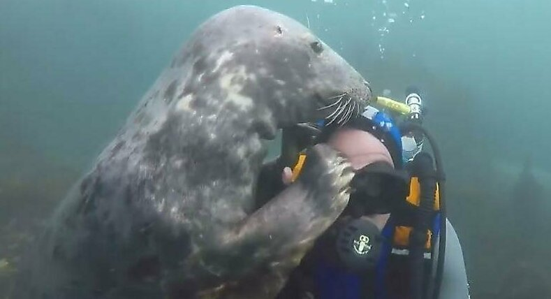 Дай померяю! Любопытный тюлень чуть не лишил маски дайвера видео, дайвер, животные, маска, милота, под водой, тюлень