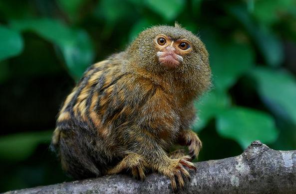 Самых крошечных обезьянок в мире на самом деле два вида, а не один