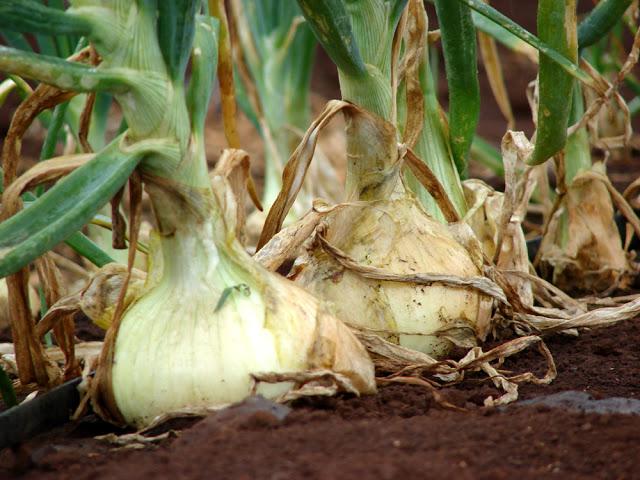 Секрет небывалого урожая: выращиваем лук китайским способом