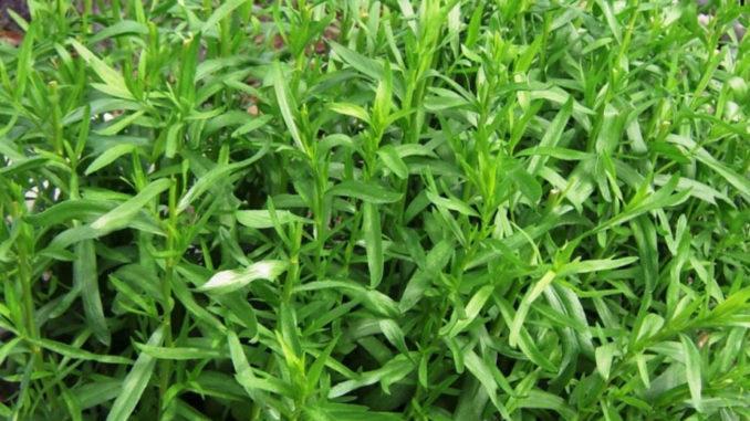 Тархун-трава: чем полезна ос…