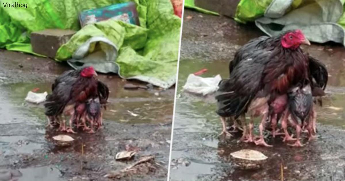 Мама-курица сама стала зонтиком, чтобы укрыть своих малышей от сильного ливня