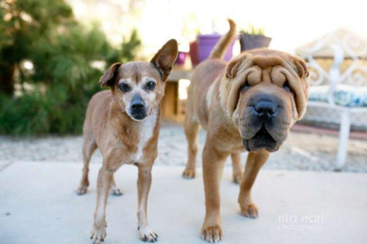 Дружба чихуахуа и слепого шарпея поразила ветеринаров