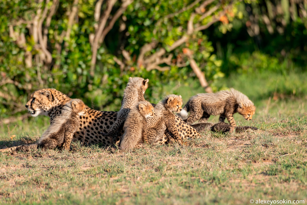 Самка гепарда родила семерых детёнышей в национальном парке Масаи-Мара