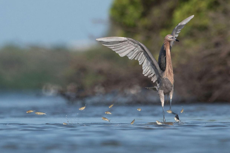 Фотографии участников конкурса Audubon Photography Awards 2018