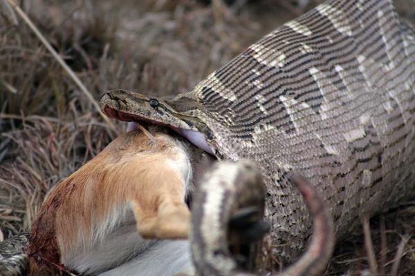 Без шансов, или жестокая сторона природы жестокая, животные, звери. выживание, интересное, природа