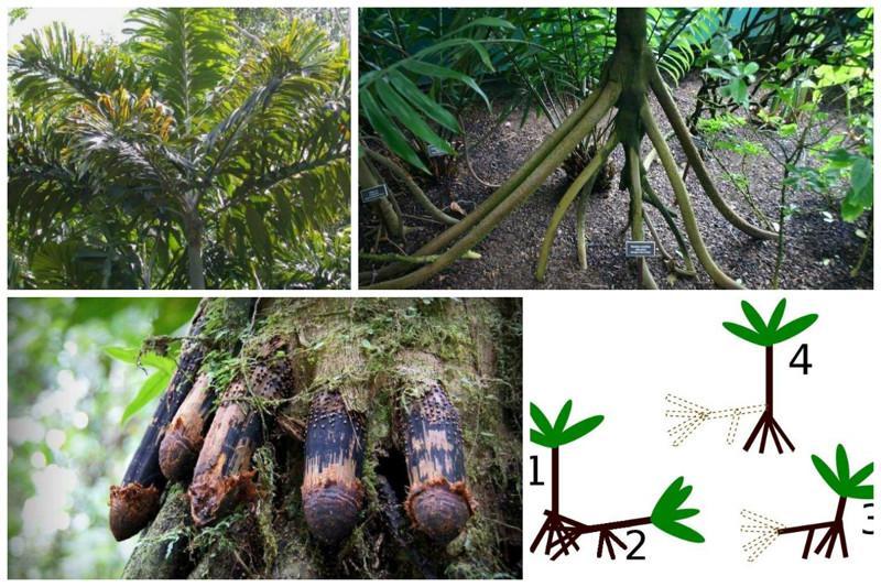 Socratea exorrhiza - palmeiras equatorianas a pé.  Quando os nutrientes terminam, a palmeira libera os brotos das raízes, após o enraizamento das quais as raízes velhas morrem das árvores, incrível, natureza, incrível, flora