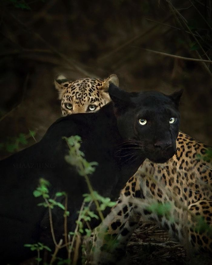 Двенадцать фотографий черной пантеры из джунглей Индии