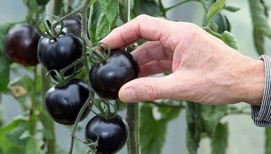 Как определить зрелость овощей с необычной расцветкой?