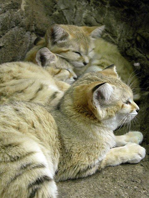 Песчаная кошка – необыкновенная кошка пустыни (16 фото)