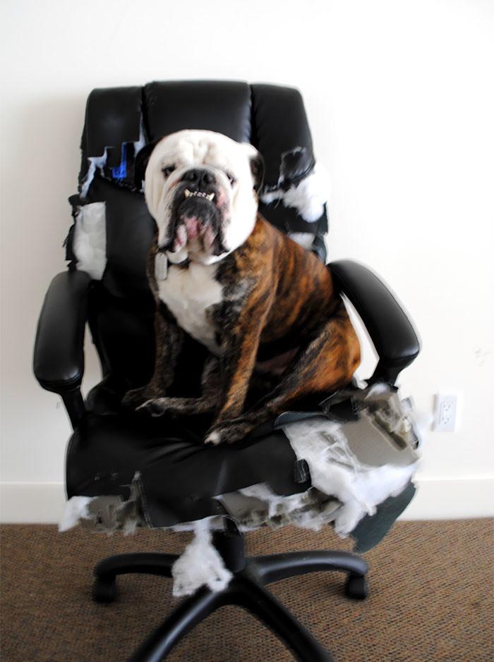 Проверил новое кресло дом, животные, проступок, шалость