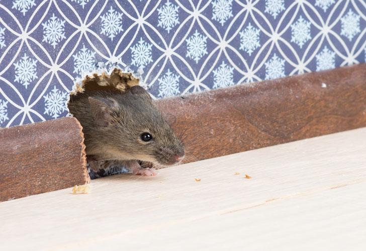 Как избавиться от мышей с помощью уксуса и ватных шариков?