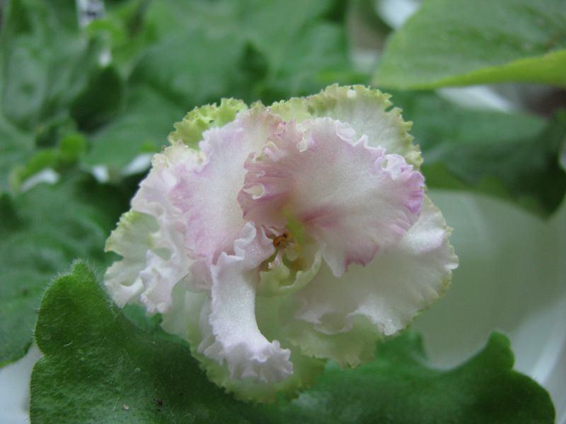 ночные существа фиалка розовая с зеленой каймой фото видим, даже самые