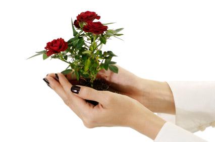Как правильно посадить розу. Из увядшего букета можно вырастить куст роз