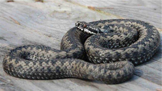 Самые опасные змеи в России змеи, змеи россии, осторожно, россия