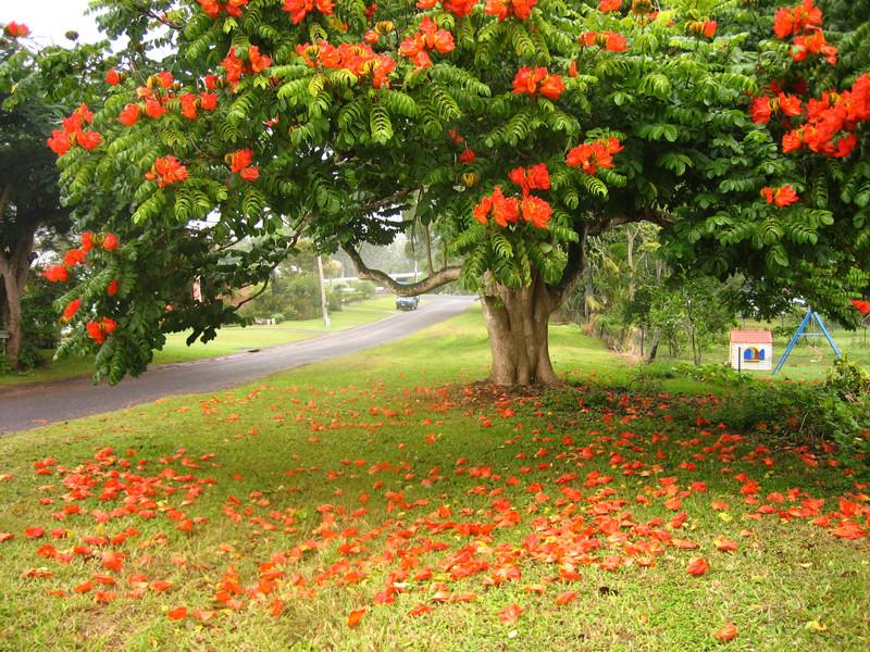 Spatodea em forma de sino (tulipa) árvores, incrível, natureza, incrível, flora