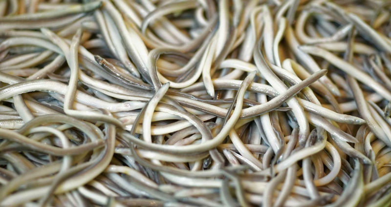 Мальки речного угря, которые превратились из корма для животных в деликатес