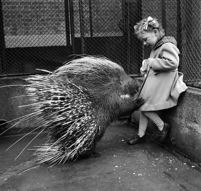 Девочка кормит дикобраза в лондонском зоопарке, 1953 год. история, ретро, фото