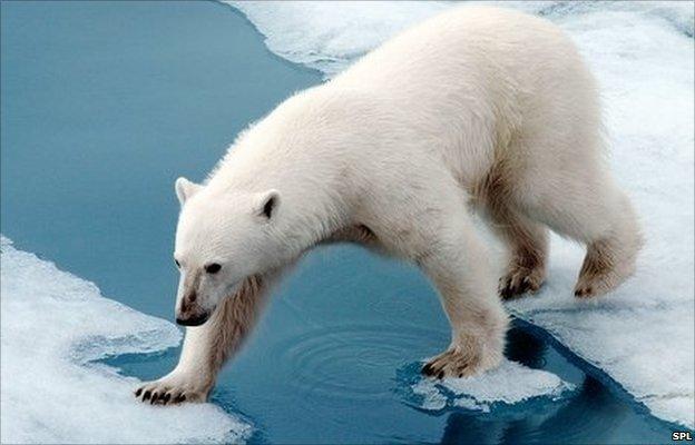 Интересные и малоизвестные факты из жизни полярных медведей