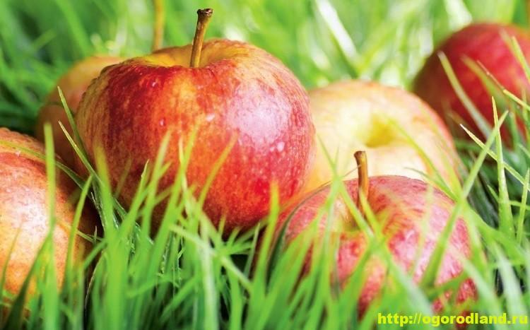 Полезные яблоки. Яблочная диета. Яблоки в народной медицине