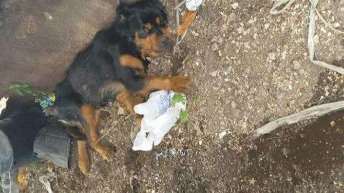 Ротвейлера по имени Сюзанна бывшие хозяева выбросили, как ненужный мусор