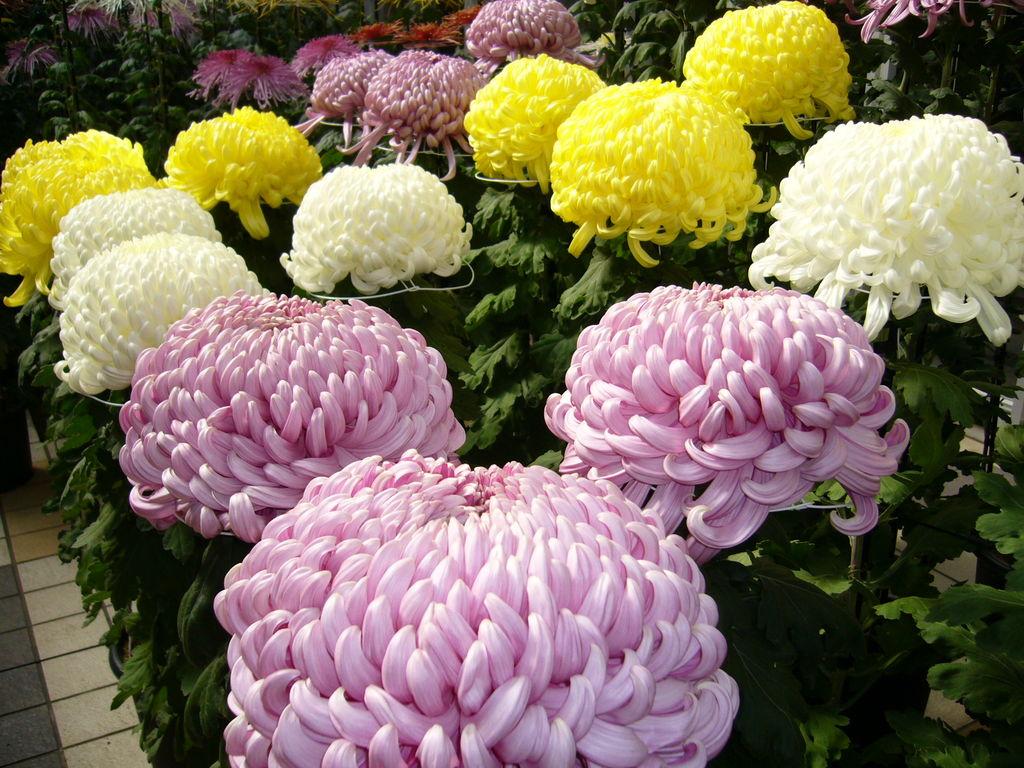 мыслитель фото разновидностей японских хризантем клёва