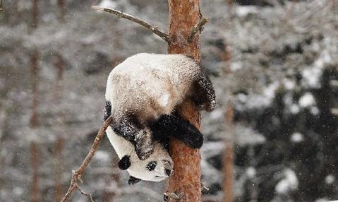 В Китае счастливые от первого снега панды попали на видео