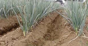 Лук на гребне......отличный урожай