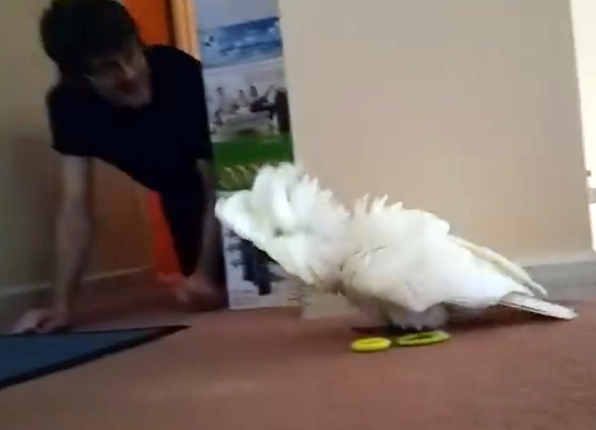 Хозяин решил поиграть со своим попугаем в ку-ку. Реакция птички просто очаровательна!