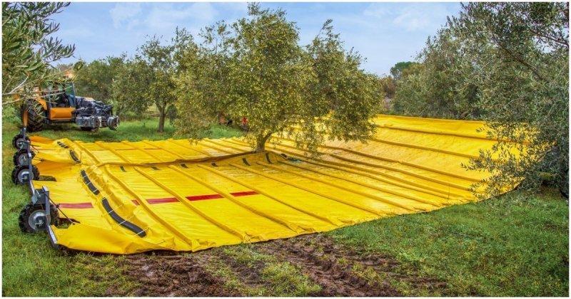 Сбор урожая оливок в промышленных масштабах