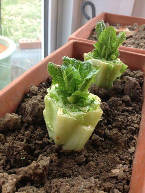15 овощей, которые можно вырастить снова из очистков!