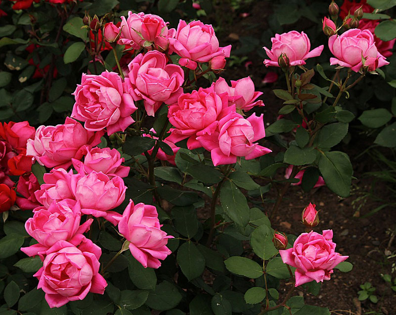 Кустарниковые розы картинка
