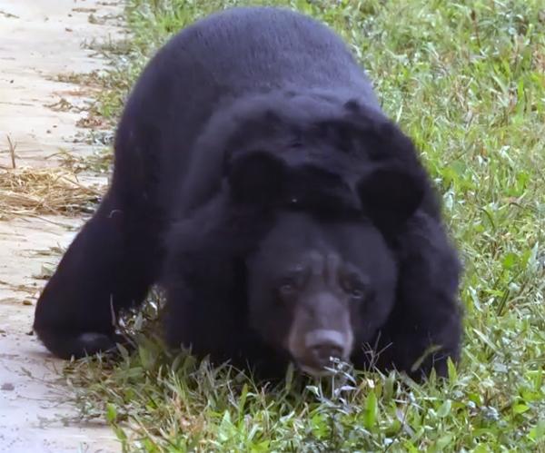 Спасенный медведь с ампутированными лапами заново учится ходить...