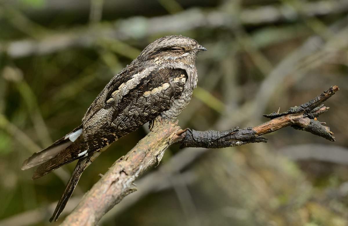 ночные птицы подмосковья фото и описание также