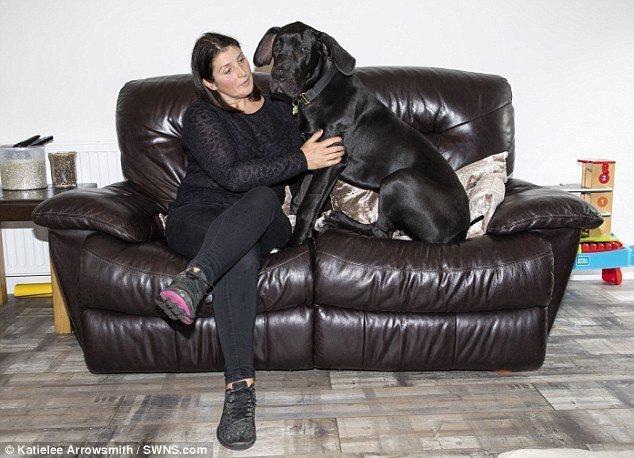 Росто-весовые показатели Арни действительно превышают среднестатистические показатели для этой породы adopted, немецкий дог, питомец, рекорды, самый большой, самый крупный, собака, собака - друг человека