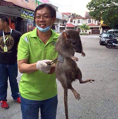 Размер самой большой крысы