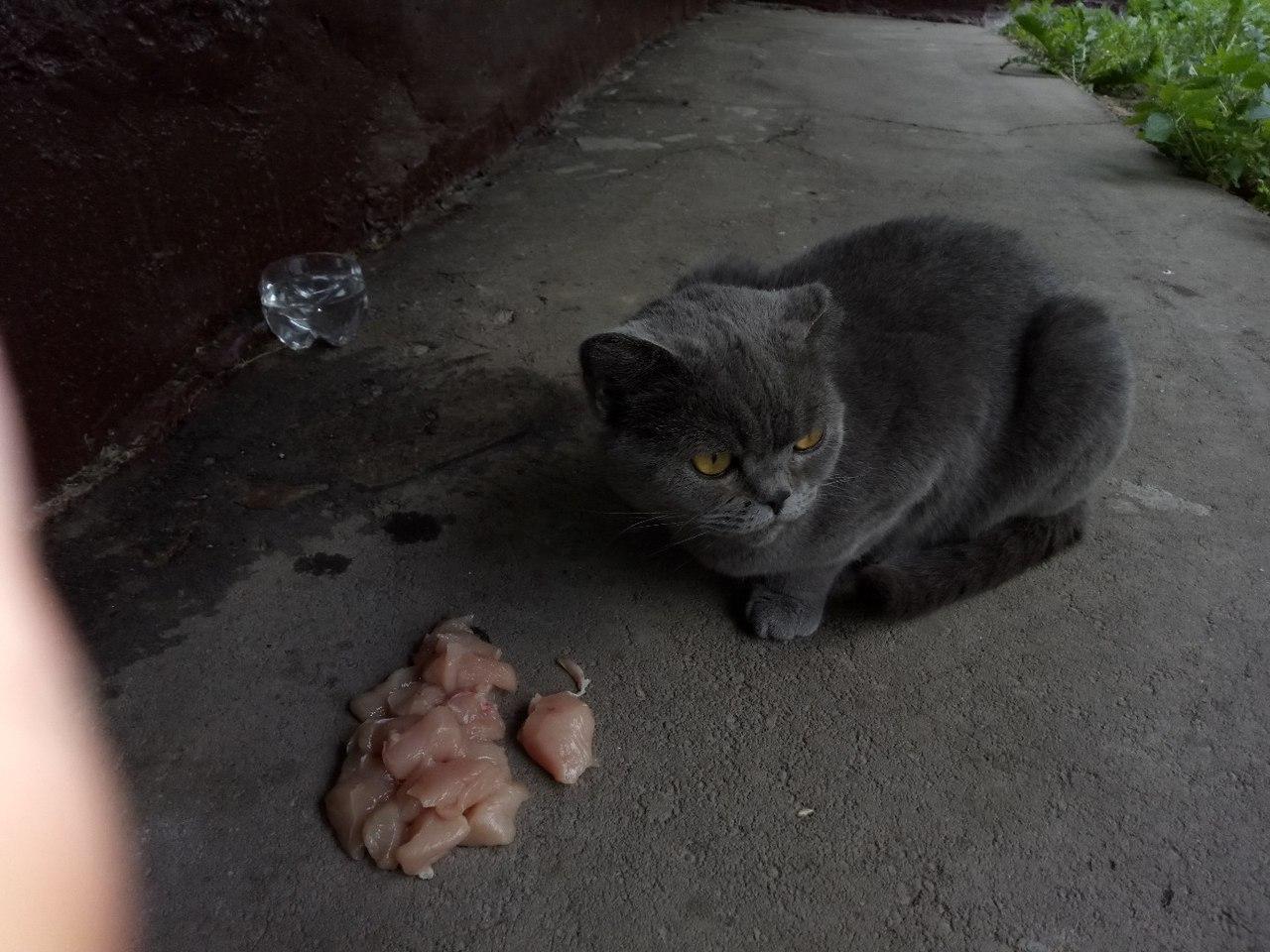 Климовск. Выбросили домашнюю британочку. Ей очень тяжело на улице.