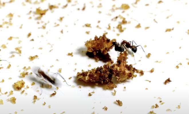 Положили банан в муравейник: смотрим за сколько времени муравьи его съедят Культура