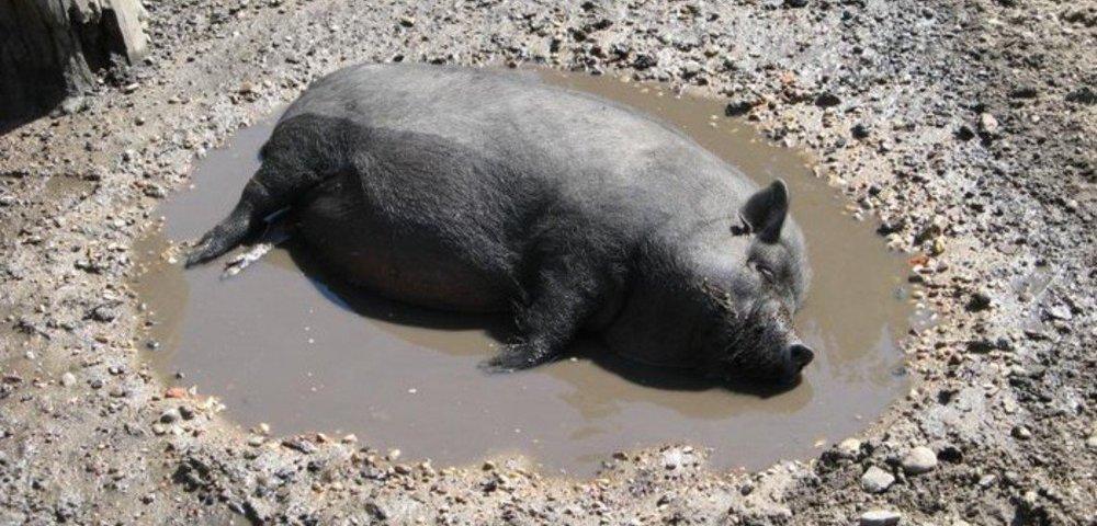 этого смешные картинки свинья в грязи рефракционной абстрактный молекулярная