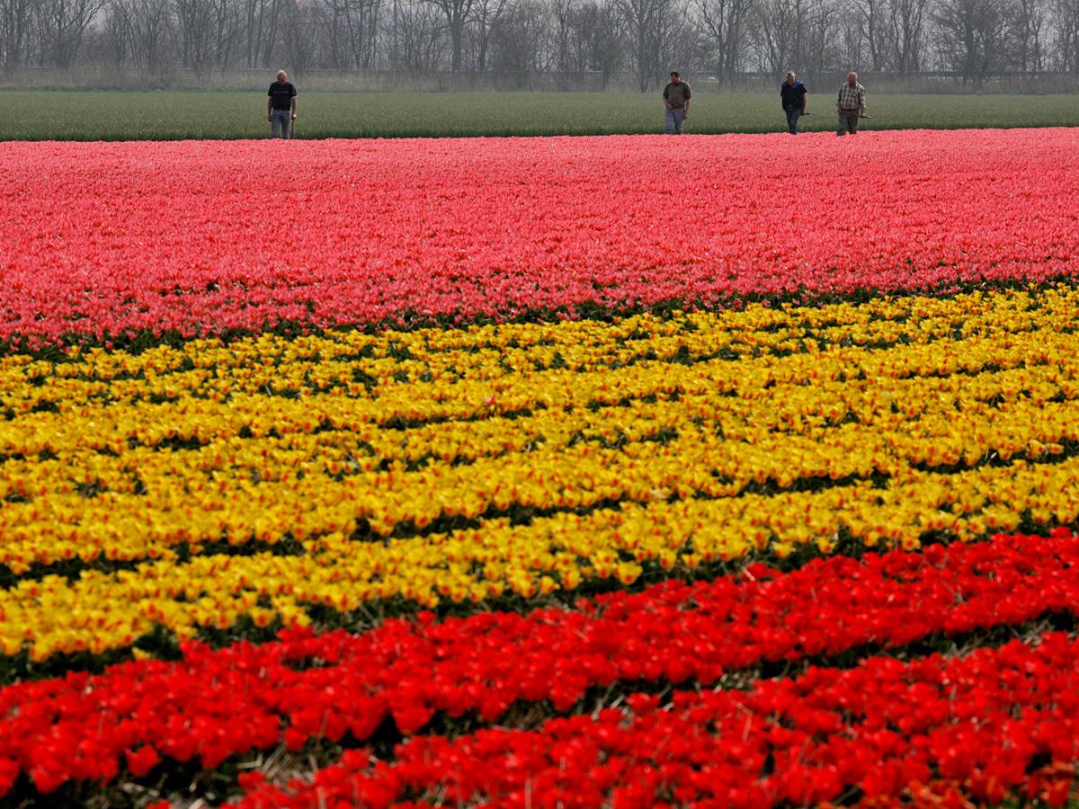 Тюльпанные поля в Голландии