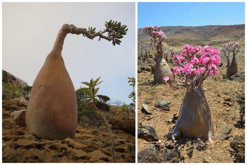Desert Rose - árvores de garrafa, incrível, natureza, incrível, flora