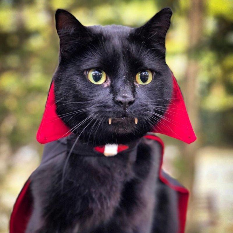 Картинки кошка вампир