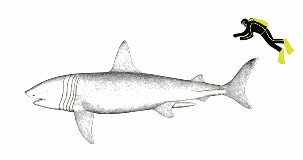 Соотношение средних размеров исполинской акулы и человека (cc by-sa The Nature Box)