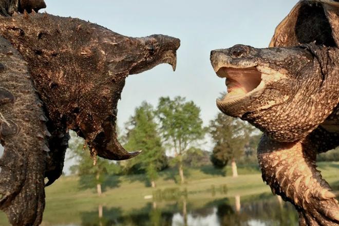 Проверка укуса черепахи: ломает деревянную палку грифовая черепаха,как больно кусает черепаха,Койот Питерсон,Пространство,укус черепахи