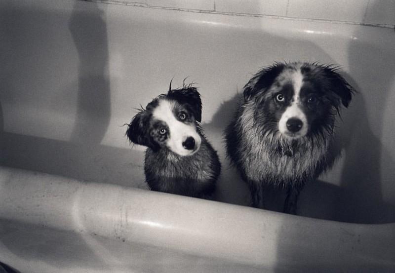 А это собаки Нэнси, которых уже нет на свете. Это Лулу и Макси. Здесь они еще малыши собаки, фото собак, фотографии животных
