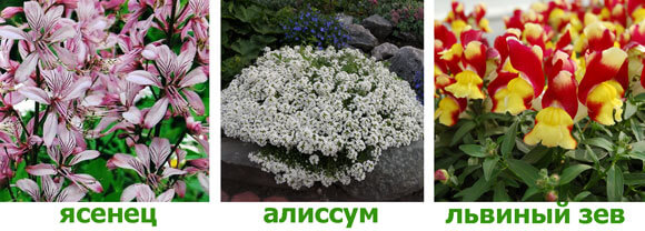 yasenec-alissum-antirinym
