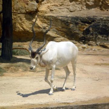 Животные от А до Я. Антилопы (2)