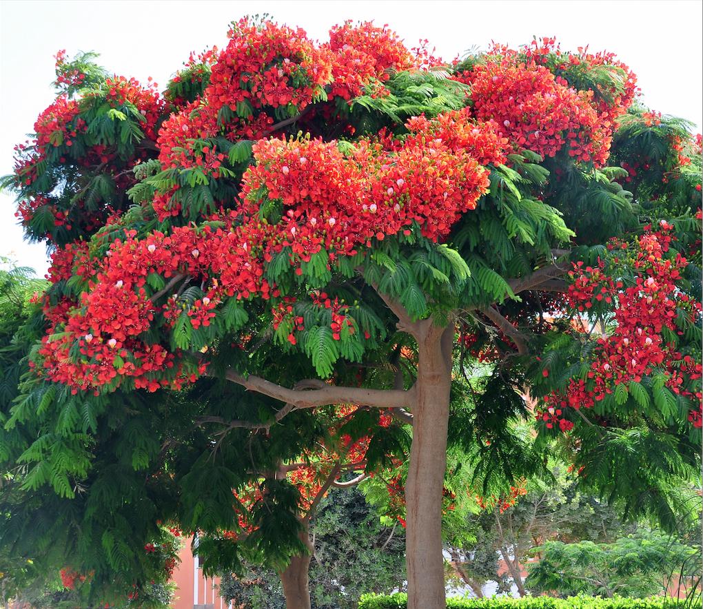 столик дерево с большими красными цветами фото работа